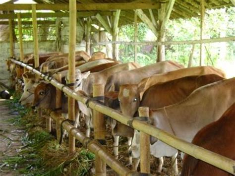 Bibit Sapi Potong Per Ekor potensi peternakan sapi potong di jawa timur