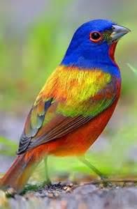 bird colors painted bunting passerina ciris by e j peiker