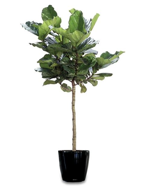 Home Decor For Small Apartment ficus lyrata google search our apartment pinterest