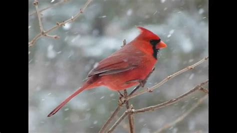 top 28 what noise does a cardinal make 389 cardinal