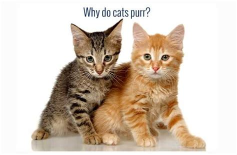 why do cats purr 28 images why do cats purr yourepeat why do cats purr purring quick