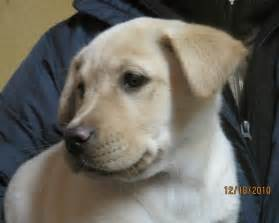 yellow lab mix puppies yellow lab pit mix puppies animal world labs puppy mix and pit puppies