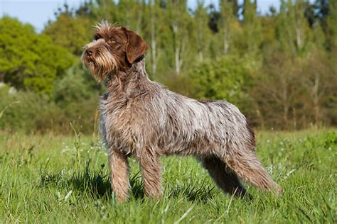 wirehaired pointing griffon puppy wirehaired pointing griffon breed guide learn about the wirehaired pointing griffon