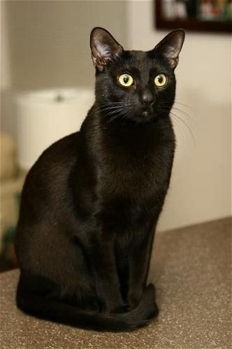 Bombay Cat   Breed Information