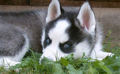 siberian husky in appartamento pin lavoro per renne natale auguri on