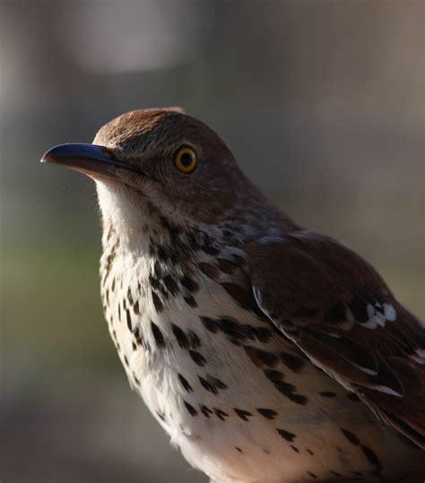 bird call mimicry standingoutinmyfield