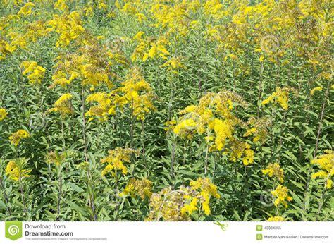 iperico fiore fiori di iperico immagine stock immagine di piante