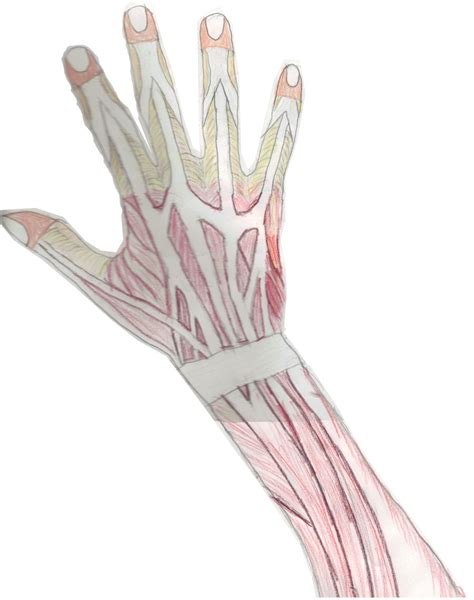 section hand cross section hand musculature system by l9obl on deviantart