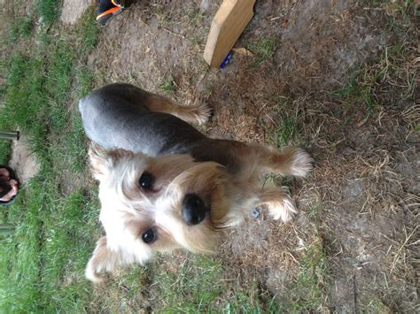 large yorkie breed large yorkie for stud wisbech cambridgeshire pets4homes