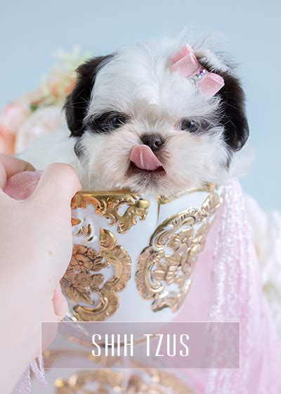 teacup shih tzu puppies for sale in houston teacup puppies for sale teacups puppies and boutique