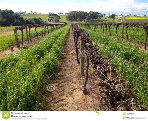 when to cut back a grapevine grape vines royalty free stock image cartoondealer 43191334