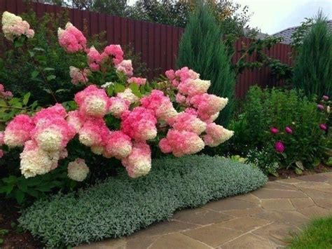 vanilla strawberry hydrangeas gardening pinterest hydrangeas strawberries and vanilla