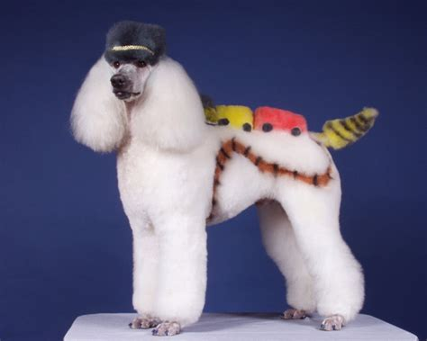 Pictures Of Poodle Haircuts | strange poodle haircuts 12 pics curious funny photos
