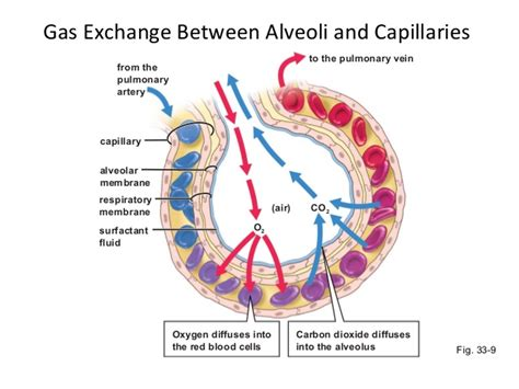 gas exchange across respiratory surfaces boundless biology lecture 17