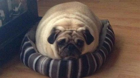 chunky pug 15 pugs that will make your day better
