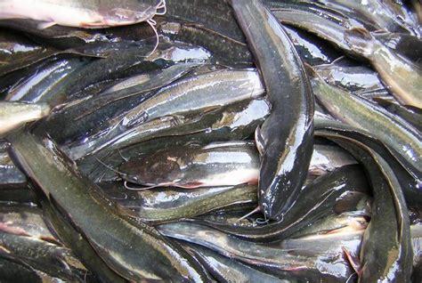 Peluang Usaha Budidaya Ikan Kembung peluang usaha ternak lele dengan kolam terpal menjanjikan semapo news