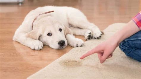 how to a to use puppy pads puppy pads a beginner s guide on how to the best products to housetrain