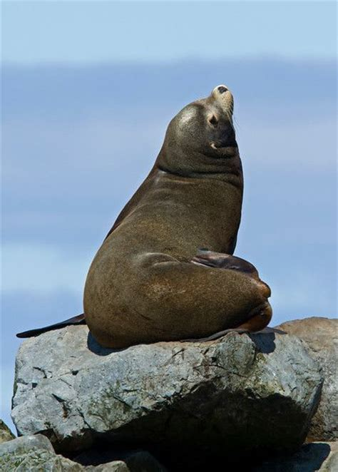 vagabonding with alaska sea lions aren t cuddly and other truths of the last frontier books 78 images about seal walrus sea on