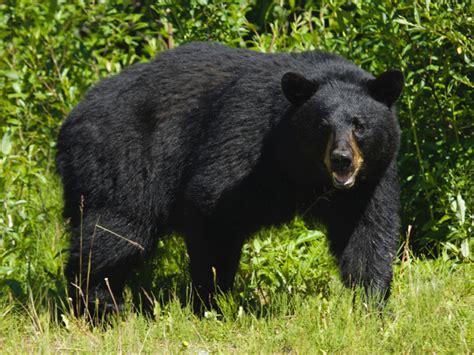 imagenes oso negro destrucci 211 n de animales animales en extinci 211 n en am 201 rica