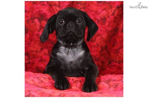 spaniel pug mix pug puppy for sale near lancaster pennsylvania 4d9d16a3 1951