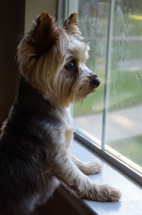 yorkie dog haircuts 153 best yippee for yorkies images on pinterest yorkies