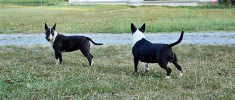 bull terrier puppies nc bull terrier puppies for sale in nc breeds picture