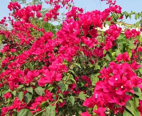 khasiat tanaman bunga desember