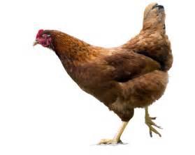 speckled hen flickr photo sharing