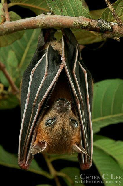 idea  sheri lynn  bats bat animals beautiful mammals