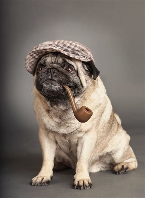 pugs in these pugs just look adorable in costumes breakingnews ie