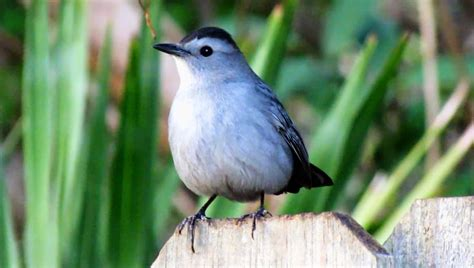backyard birding and nature gray catbird mewing call