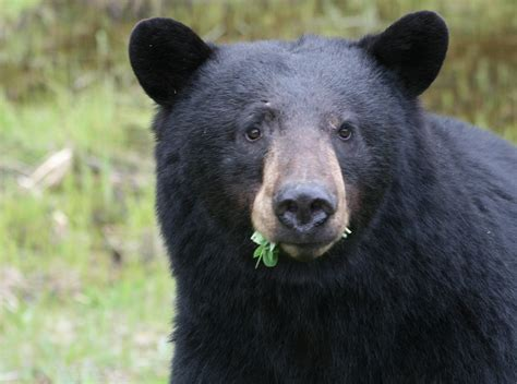 Black Bears to avoid encounters with black bears remove bird feeders