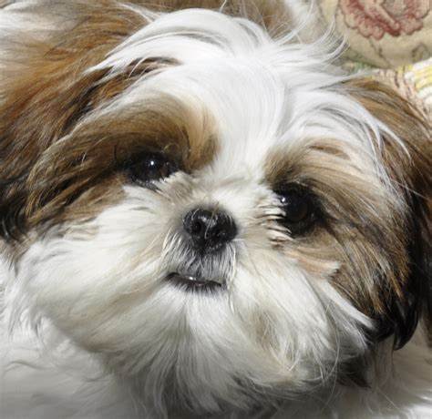 shih tzu around the pup shih tzu dogs of oakville