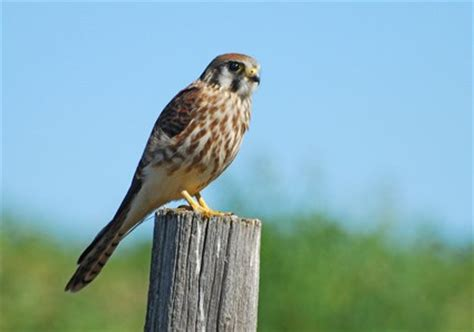 american kestrel identification all about birds