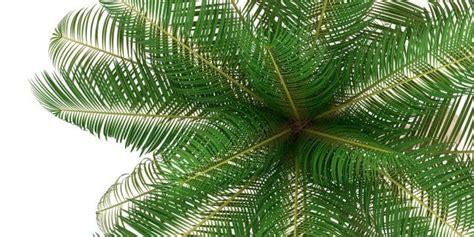 pianta di cocco da appartamento la palma da cocco cose di casa