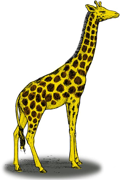 what color is a giraffe giraffe color animals g giraffe giraffe 2 giraffe color