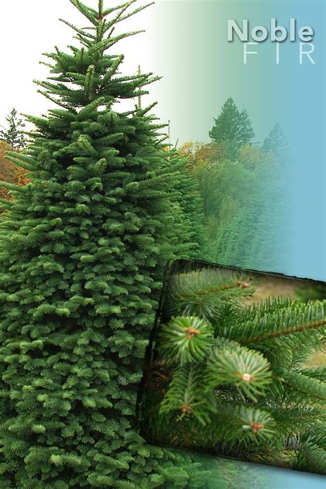 noble fir tree christmas trees from stroupe farms