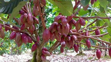 Benih Coklat benih tanaman industri siap dibagikan massal pada petani