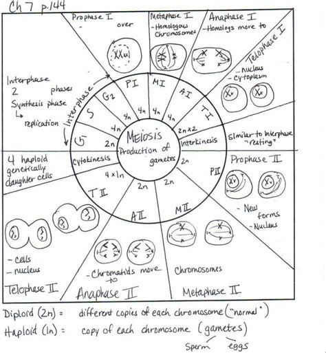 the cell cycle coloring worksheet the cell cycle coloring worksheet answer key coloring pages