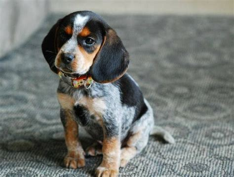 blue beagle puppies best 20 blue tick beagle ideas on beagle puppy bluetick coonhound and