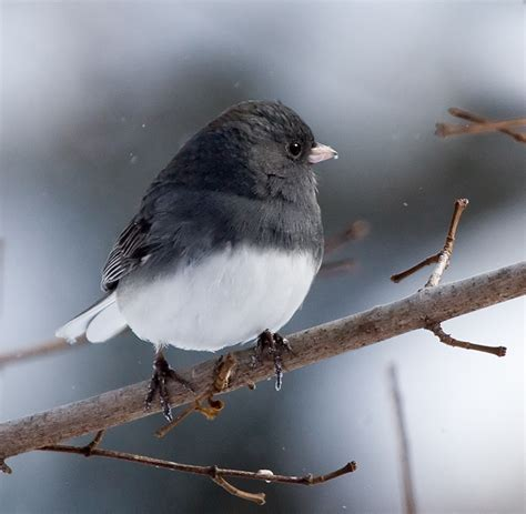 junco dec06 by the sea