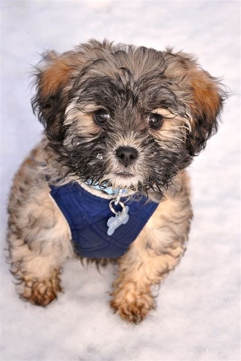 havanese poodle mix puppies for sale poovanese havapoo havanoodle havanese poodle mix havanese puppies
