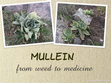 backyard medicine pantry healing backyard medicine mullein