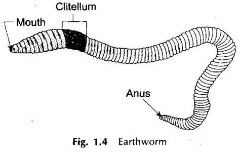 annelida diagram phylum annelida mageebio11spring2012