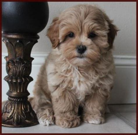 puppies for sale in iowa shichon poo aka puppies for sale mixed breed for sale iowa puppies