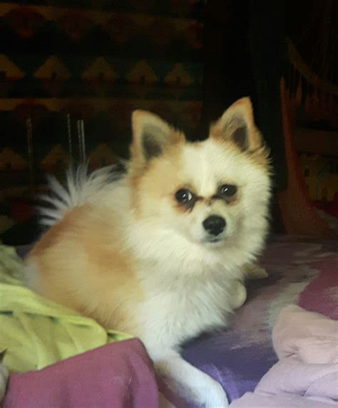 pomeranian animal shelter hank a better chance animal rescue pomeranian cross