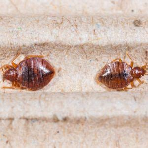 how to tell if has fleas bed bug how to tell if you fleas in your bed www e bedbugs get rid