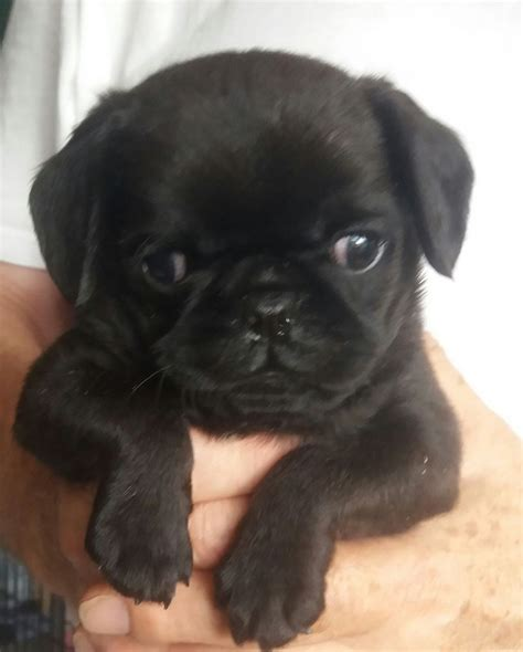 small black pug small black pug cross v pretty stockton on tees county durham pets4homes
