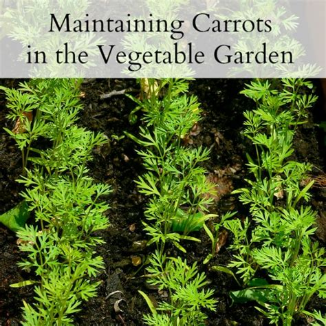 how often do you water a vegetable garden growing carrots in the backyard vegetable family
