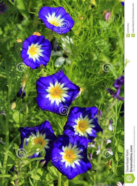 morning fiore fiore di ipomea immagini stock immagine 37674764